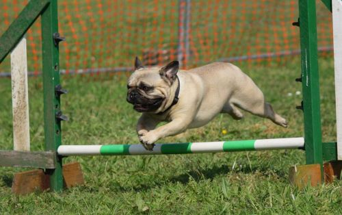 dog pug training