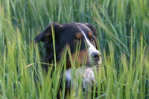 dog berner sennen dog meadow