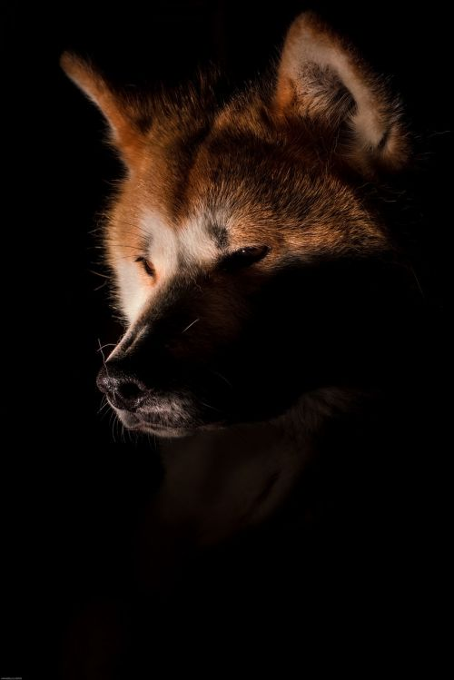 dog akita fox