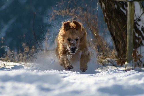 šuo,žiema,sniegas,gamta,gyvūnas,linksma,žaisti,paleisti