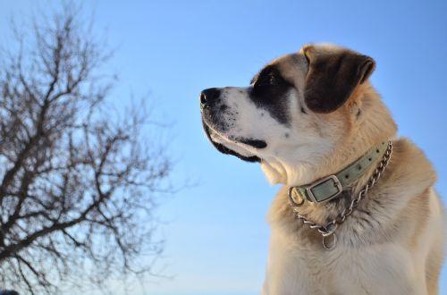 šuo,naminis gyvūnėlis,dangus,portretas,budrus,naminis gyvūnas,šunys