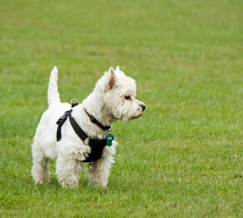dog westie west highland terrier