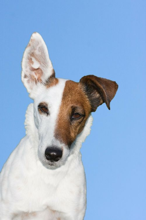 dog terrier fox terrier