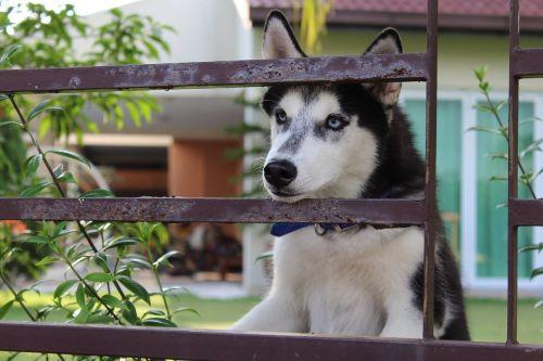 dog husky beautiful