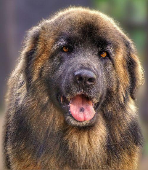 dog animal leonberger