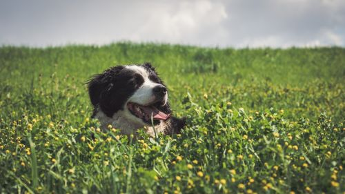 dog,field,border collie,animal,pet,hundeportrait,snout,head,young dog,quadruped,animal portrait,collie,grass,canis