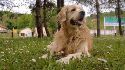 dog golden golden retriever