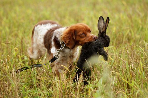 dog hunting pointer