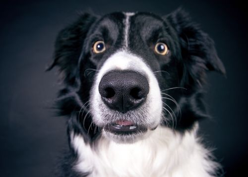 dog nose snout