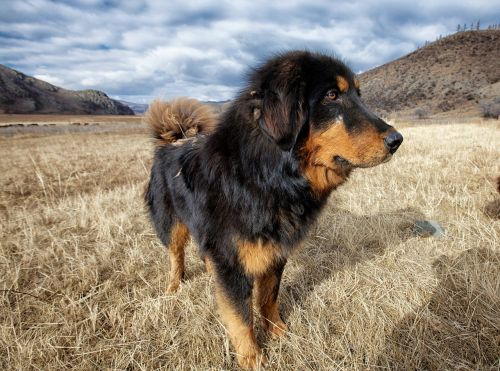 dog mongolia dog meadow