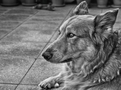 dog german shepherd dog pet