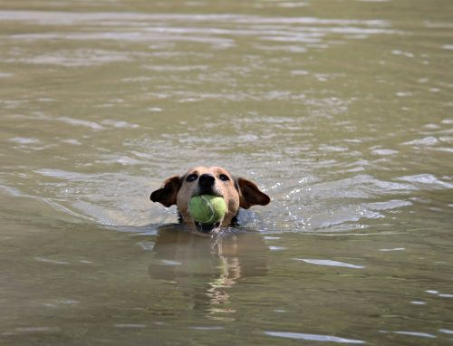 dog ball swim