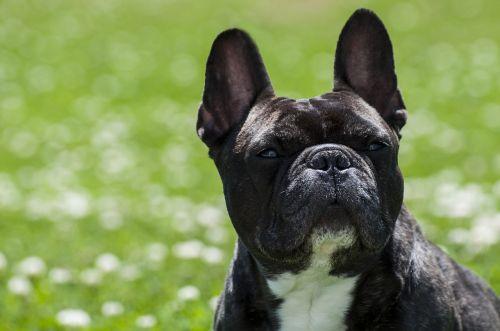 dog pet purebred
