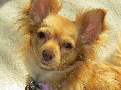 šuo,mielas,ruda,naminis gyvūnėlis,Draugystė