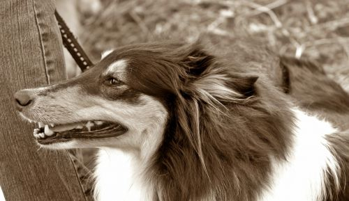 dog long haired collie tricolor