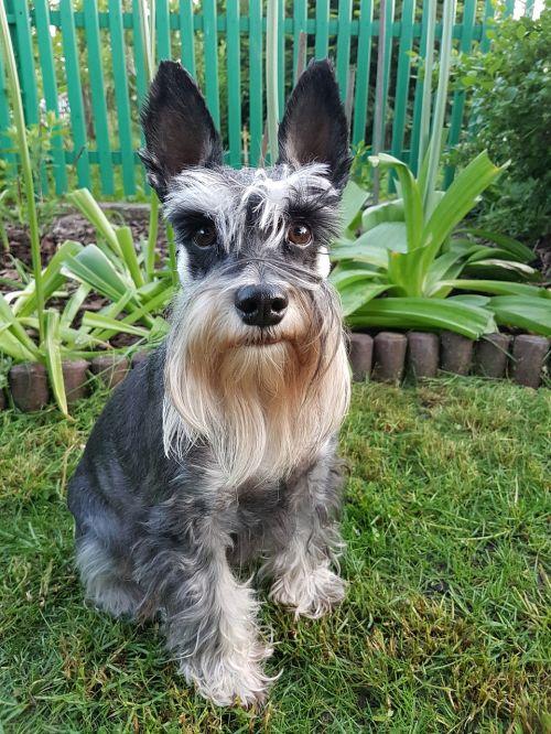 dog doggy schnauzer