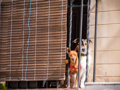 šuo,šunys,naminis gyvūnėlis,laukinės gamtos fotografija,gyvūnų portretas,mėgautis saule,gyvūninės fotografijos,langas,miesto šunys,žvelgdamas iš lango,Du šunys,įdomūs šunys