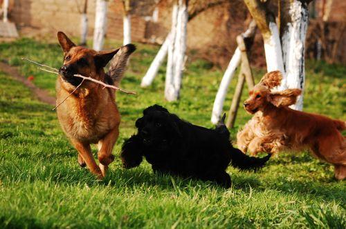 dog dogs herd