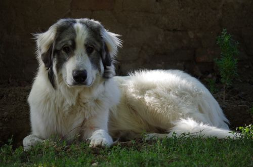 dog the iberian mountain