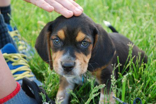 dog beagle puppy