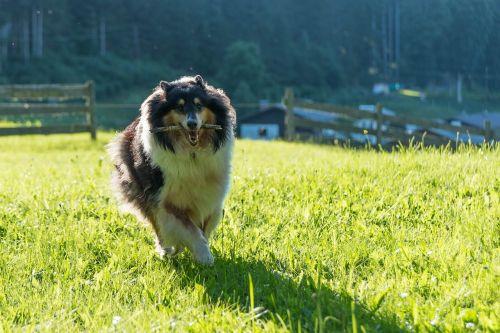 dog collie purebred dog