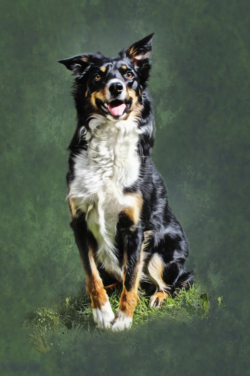 dog collie portrait