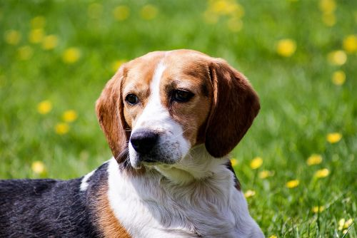 dog beagle pet
