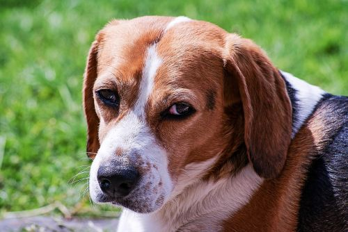 dog beagle portrait