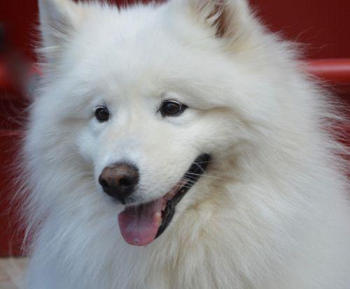 dog samoyed white