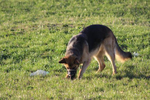 šuo,linksma,Paieška,sniffing,nosis,vaikščioti su šunimi,vaikščioti