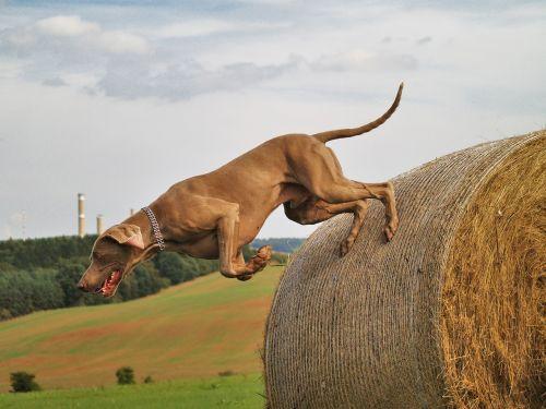 dog weimaraner hunting