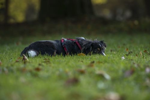 dog dog breed kromfohrlander