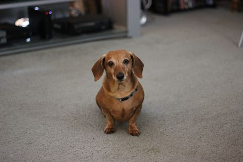 dog dachshund pet