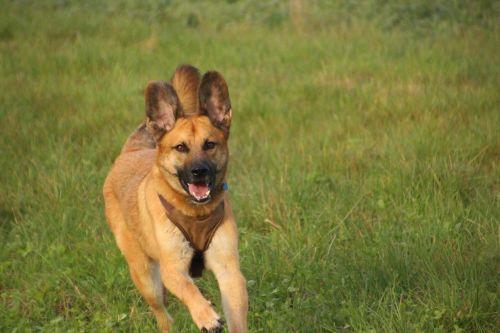 dog rennend running dog