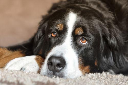 dog bitch bernese mountain dog