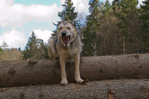 dog hybrid snout