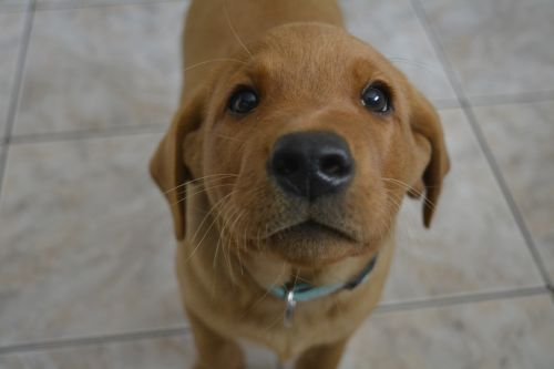 dog puppy labrador