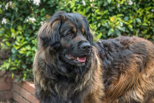dog leonberger giant