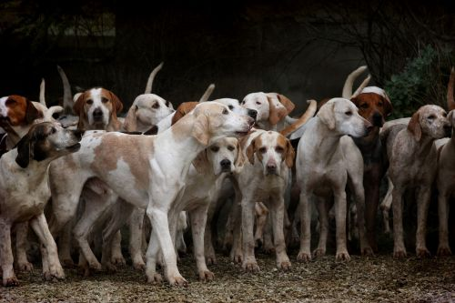 dog herd canine
