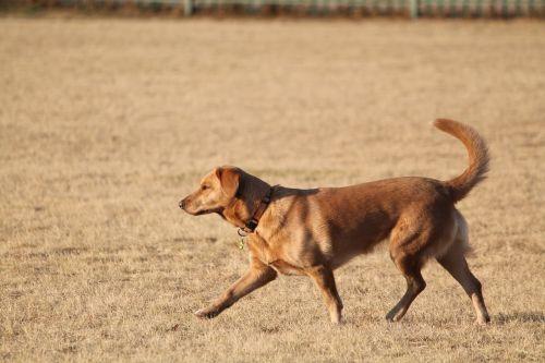 dog labrador walk