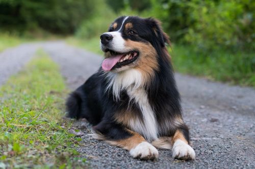 dog,australian shepherd,lying,forest,black-tri