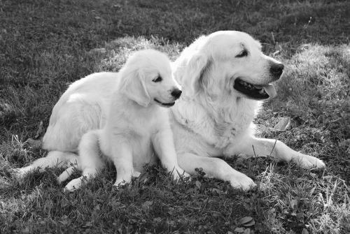 dog dogs golden retriever