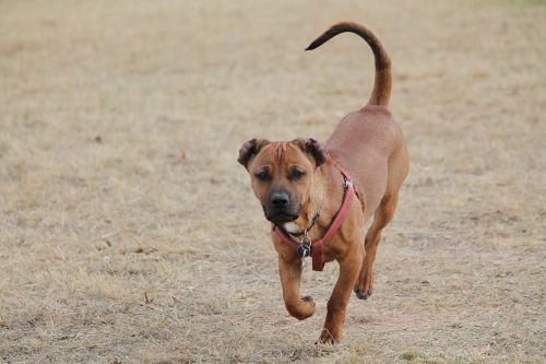 dog tan run