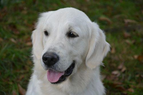 dog dog golden retriever female
