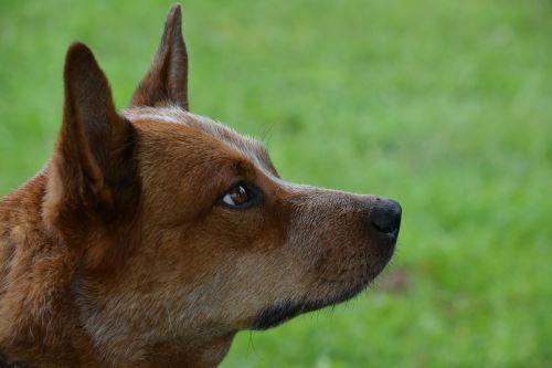 dog pet australian cattle dog