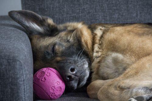 dog died german shepherd