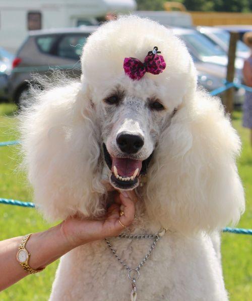 dog white poodle
