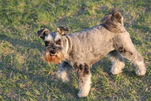 dog schnauzer beard