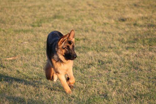dog alsatian german shepherd