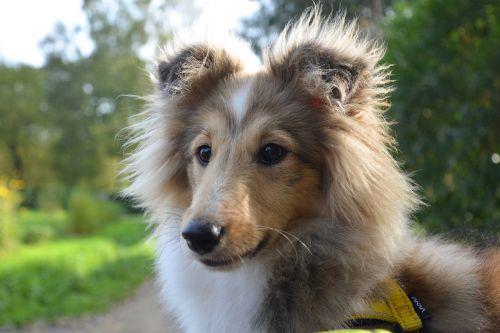 dog bitch shetland sheepdog pup
